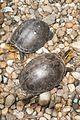 Pair of Sarawak turtles (29045041720).jpg