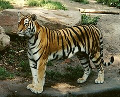 Panthera tigris altaica female crop.jpg