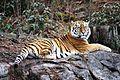 Panthera tigris kristiansand dyrepark IMG 4042.JPG