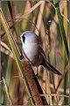Panurus biarmicus -Oare Marshes, Kent, England -male-8 (2).jpg