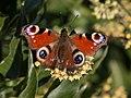 Paon du jour-Aglais io-Pleiney-20141029.jpg