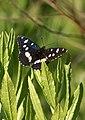 Papallones de casa meva - Ninfa dels rierols - Limenitis reducta (5165762437).jpg