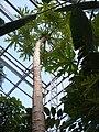 Papaya (2374014779).jpg