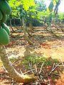 Papaya plantation near Fushan town, Hainan, China - 05.jpg