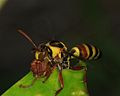 "Paper wasp with ""meat"" -2- (detail) (8127209341).jpg"
