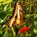 Papilio cresphontes 20161011.jpg