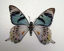 Papilio laglaizei male verso.JPG