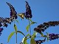 Papillon « Machaon ou Grand porte-queue » - 02.jpg