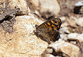 Pararge aegeria - Speckled Wood.jpg
