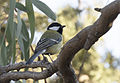 Parus major - Great tit 03.jpg