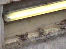 File:Passer domesticus - gathering at fluorescent tube.ogv