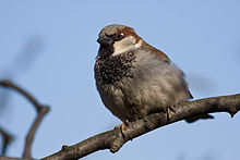 Passer domesticus detailed.jpg