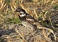 Passer hispaniolensis - Spanish Sparrow 06.jpg