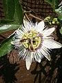 Passiflora caerulea RHu.JPG
