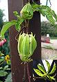 Passionsblume-verblueht Blatt.jpg