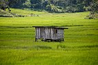 Patau Sabah Sulap-in-the-paddy-fields-03.jpg
