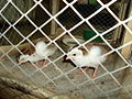 Patridge(Chukar) Chicks.JPG