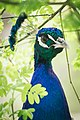 Peacock (14397110040).jpg