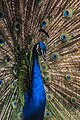 Peacock at safari park.jpg
