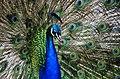 Peacock colours. (8316462152).jpg
