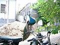 Peacock mirror.jpg
