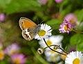 Pearly Heath (Coenonympha arcania) (14158693560).jpg