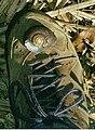 Pedinogyra rotabilis Border Ranges National Park.jpg