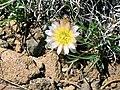 Pediocactus simpsonii ssp bensonii fh 66 UT B.jpg