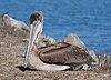 Pelecanus occidentalis at Bodega Harbor.jpg