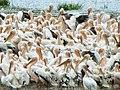 Pelikanlar - panoramio.jpg
