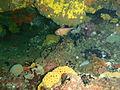 Pempheris klunzingeri P1212698.JPG