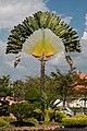 Penang Malaysia Ravenala-madagascariensis-02.jpg