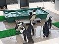 Penguin, Sunshine Aquarium.jpg