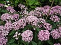 Pentas Cornia from Lalbagh flower show Aug 2013 8259.JPG