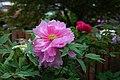 Peony Flowers 牡丹花 - panoramio.jpg