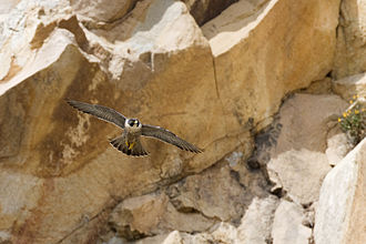 Peregrine falcon - F. p. anatum in flight, Morro Bay, California