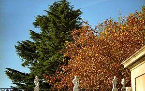 Perennifolio wikipedia la enciclopedia libre for Arboles de hoja perenne en madrid