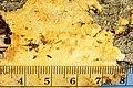Perenniporia tenuis (Schwein.) Ryvarden 855246.jpg