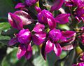 Pereskiagrandifloraviolacea.jpg
