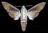 Perigonia lusca lusca MHNT CUT 2010 0 132 Parque Nacional Henri Pitter (Rancho Grande), Venezuela male ventral.jpg