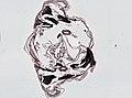 Periplaneta americana (YPM IZ 098956) 018.jpeg