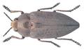 Perotis lugubris (Fabricius, 1777).png