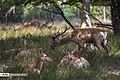 Persian Fallow Deers in Dasht-e Naz Wildlife Refuge 2020-06-02 12.jpg