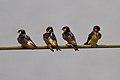 Petrochelidon preussi -Southwest Region, Cameroon -four-8.jpg