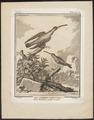 Phaëthornis spec. - 1700-1880 - Print - Iconographia Zoologica - Special Collections University of Amsterdam - UBA01 IZ19100001.tif
