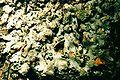 Phaeophyscia rubropulchra-1.jpg