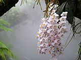 Phalaenopsis philippinensis NationalOrchidGarden-Singapore.jpg
