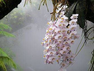 Singapore Botanic Gardens - Phalaenopsis philippinensis orchid growing in a mist house