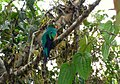 Pharomachrus auriceps (Quetzal colinego) (1) (14167921273).jpg