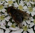 Phasia hemiptera (Shieldbug Fly) - female - Flickr - S. Rae.jpg